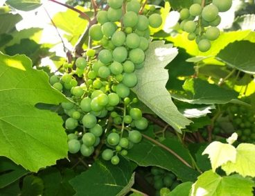 Nutritional Disorders in Table Grapes